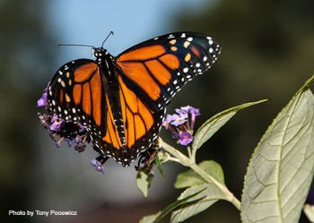 An image of a Monarch butterfly on some purple flowers