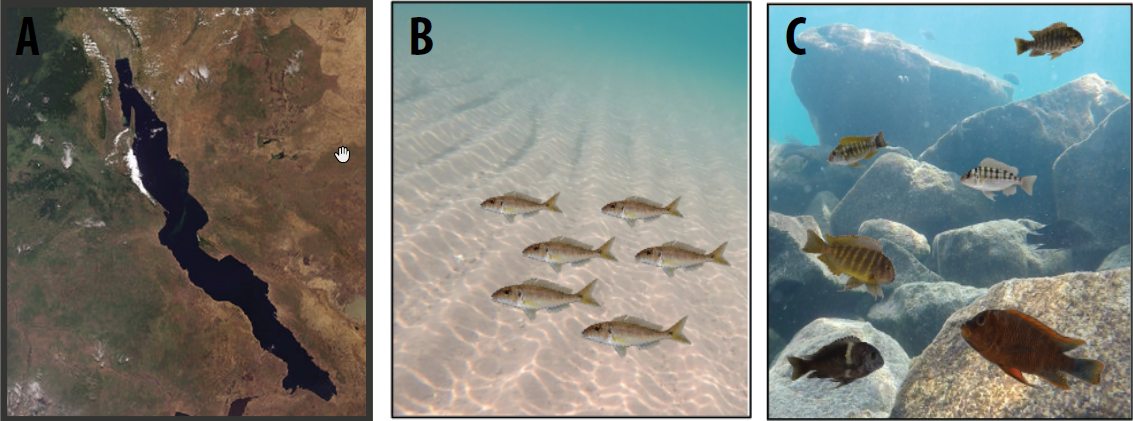 Fig. 1: Satellite view of Lake Tanganyika, East Africa (A), cichlid diversity in the sand and in the rocky littoral zone (B-C).