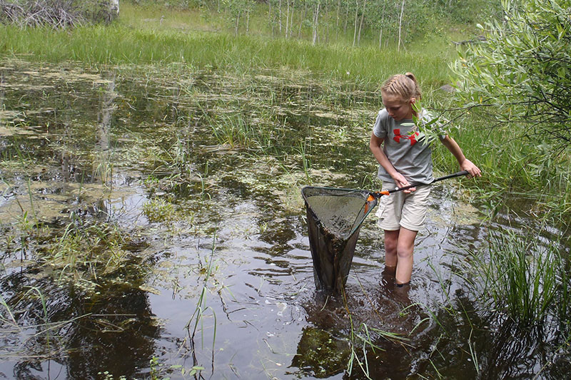 A young girl dip nets for amphibians as part of the Rocky Mountain Amphibians project.