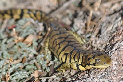 An image of an adult Western Tiger Salamander on some rocks